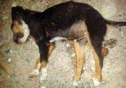 Yavru Köpek Döve Döve Öldürüldü