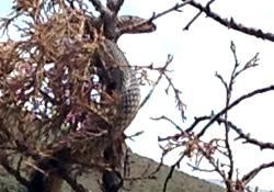 Ağaçta görülen 6 metrelik dev yılan korkuttu