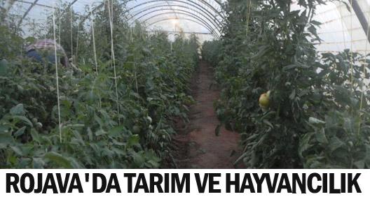Rojava'da tarım ve hayvancılık gelişiyor