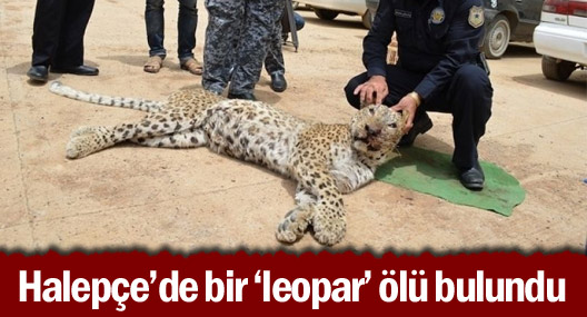 Halepçe'de bir 'leopar' ölü bulundu