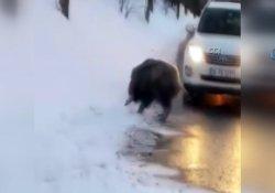 Beykoz'da yola inen domuza araba çarptı