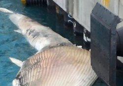 Kıyıya vuran balinanın nesli tükenme tehlikesi altında