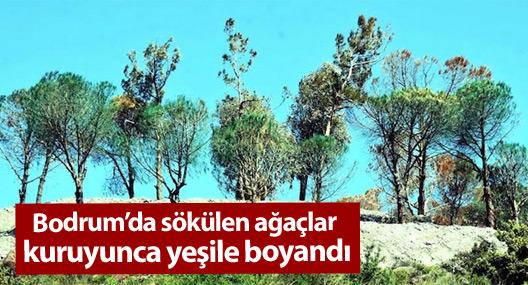 Bodrum'da sökülen ağaçlar kuruyunca yeşile boyandı