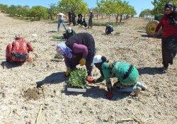 Urfa'da Karpuz Ekimi Başladı