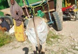 Kenya: Asfaltı temiz tutmak için eşeklere bez bağlanacak