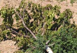 Tokat'ta ceviz ağacı katliamı