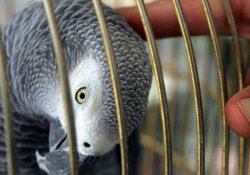 Cinayet duruşmasında papağanın sözleri delil olur mu?