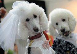Suudi Arabistan'da köpek güzellik yarışması düzenlemek isteyenlere gözaltı