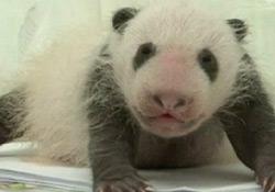 Panda yavrusunun ayağa kalkma çabası -  VİDEO