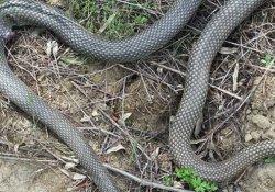 Yılanın soktuğu genç yoğun bakıma alındı