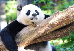 Dev pandalar 'şimdilik kurtuldu', gorillerin nesli tehlikede