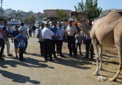 Besni'de kurbanlık deve vatandaşın ilgi odağı oldu