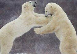 Kutup ayılarının 'rehin aldığı' bilim insanlarına yardım ulaştı