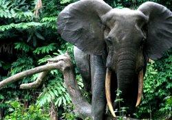 Afrika fil nüfusu 415 bine geriledi