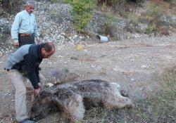 Boz ayı derede ölü bulundu