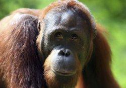 Orangutan, şempanze ve gorillerin kaçak ticareti artıyor