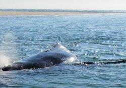 Annesini kurtaran yavru balina görüntülendi