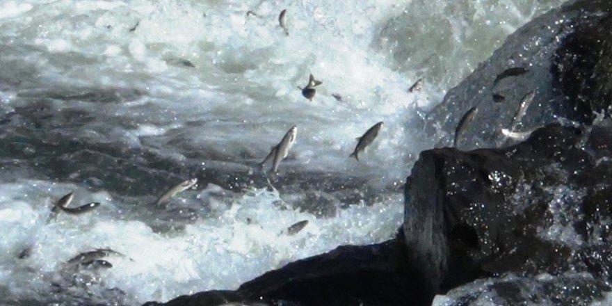 İnci kefali balığının göç serüveni