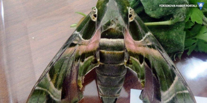 'Mekik kelebeği' Van'da ilk defa kayıt altına alındı