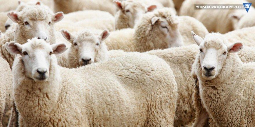 Van, koyun sayısında Türkiye lideri