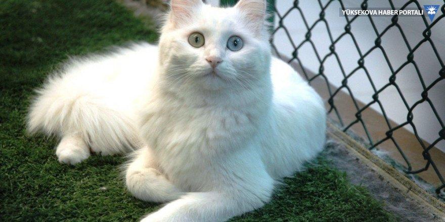 Van kedilerinde sezaryenle doğum