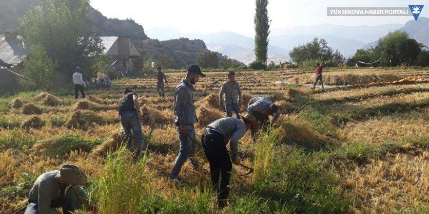 Çukurca'da pirinç hasadı