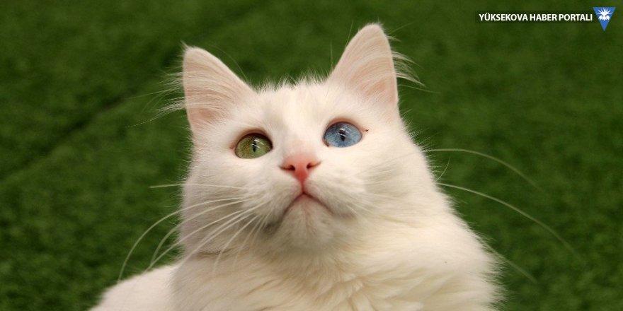 En güzel Van kedisi 'Kartopu' oldu