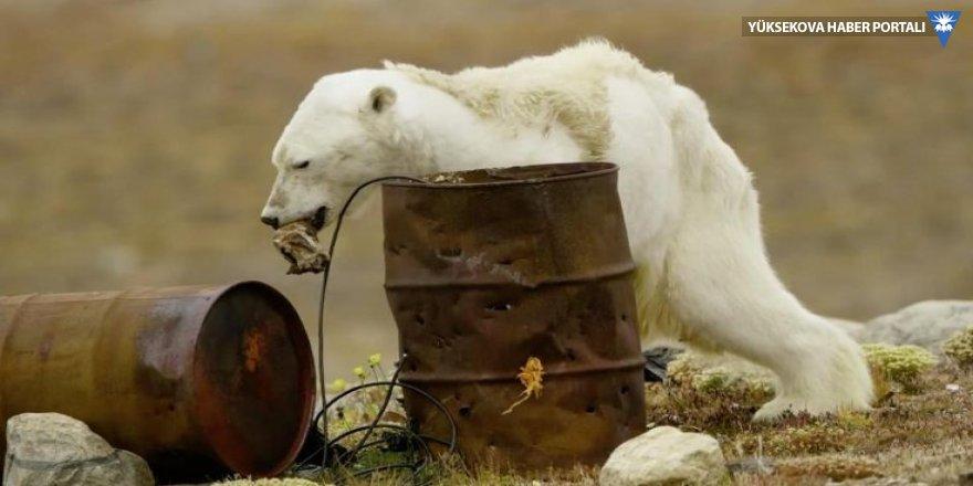 Açlıktan ölmek üzere olan kutup ayısı sosyal medyada infial yarattı