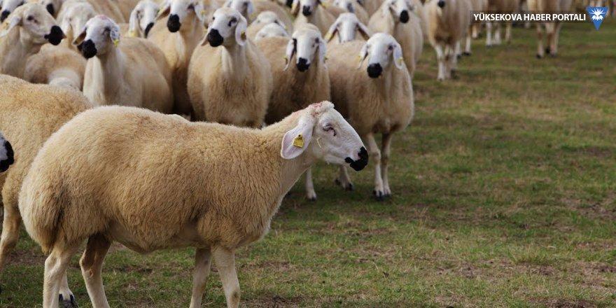 300 koyun başvurusu için ne yapılacak?