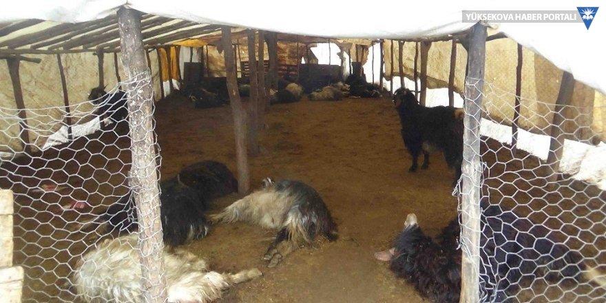Ahıra saldıran kurtlar 49 keçiyi telef etti