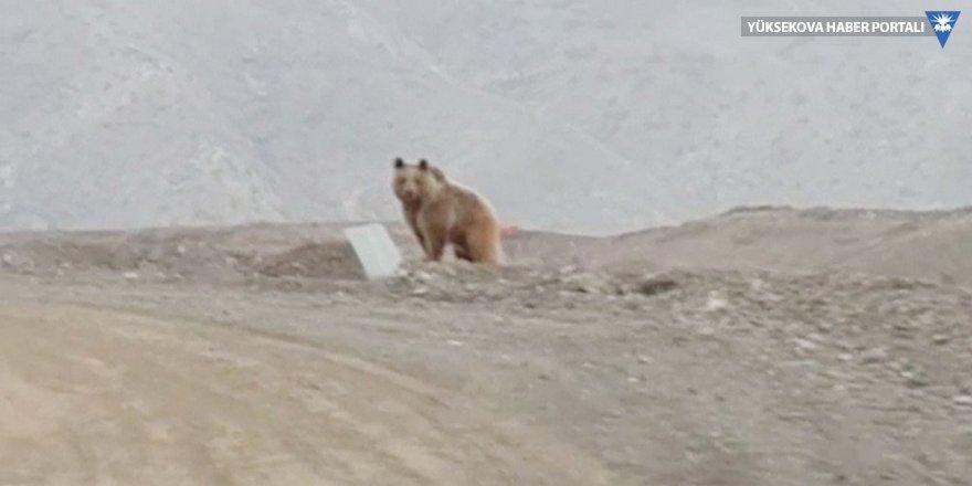 Çukurca'da kış uykusundan uyanan ayı böyle görüntülendi