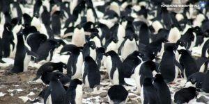 Antarktika'da 1.5 milyon penguen bulundu!