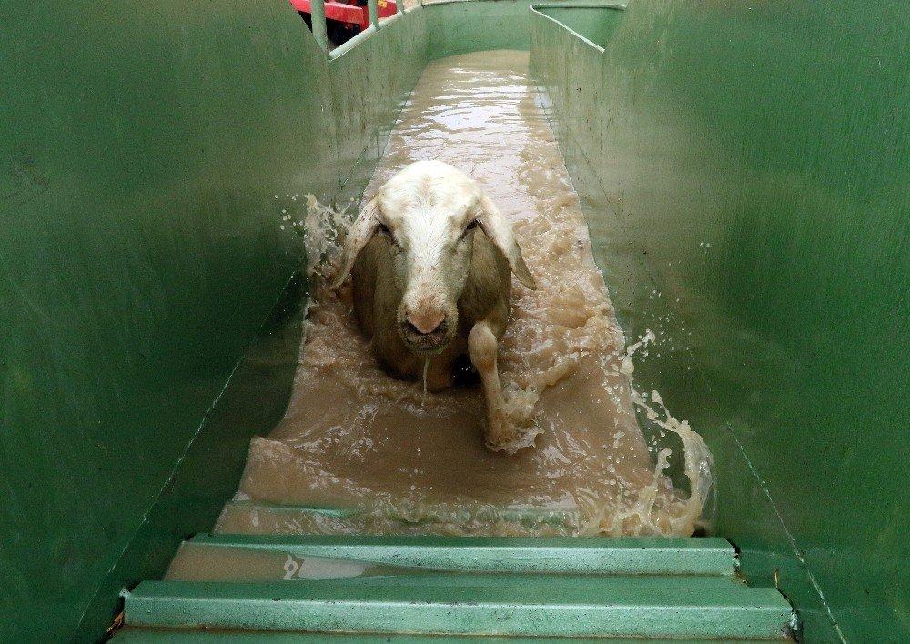 Koyun banyoluğu yaylacıları sevindirdi