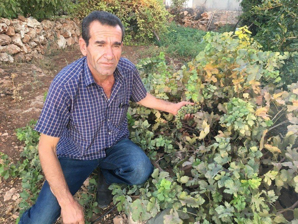 Midyat' ta üzüm budama sezonu başladı