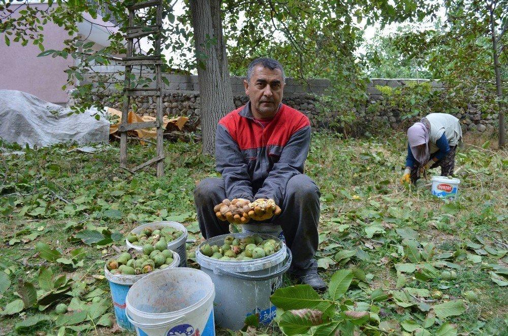 Adilcevaz'da ceviz hasadı başladı
