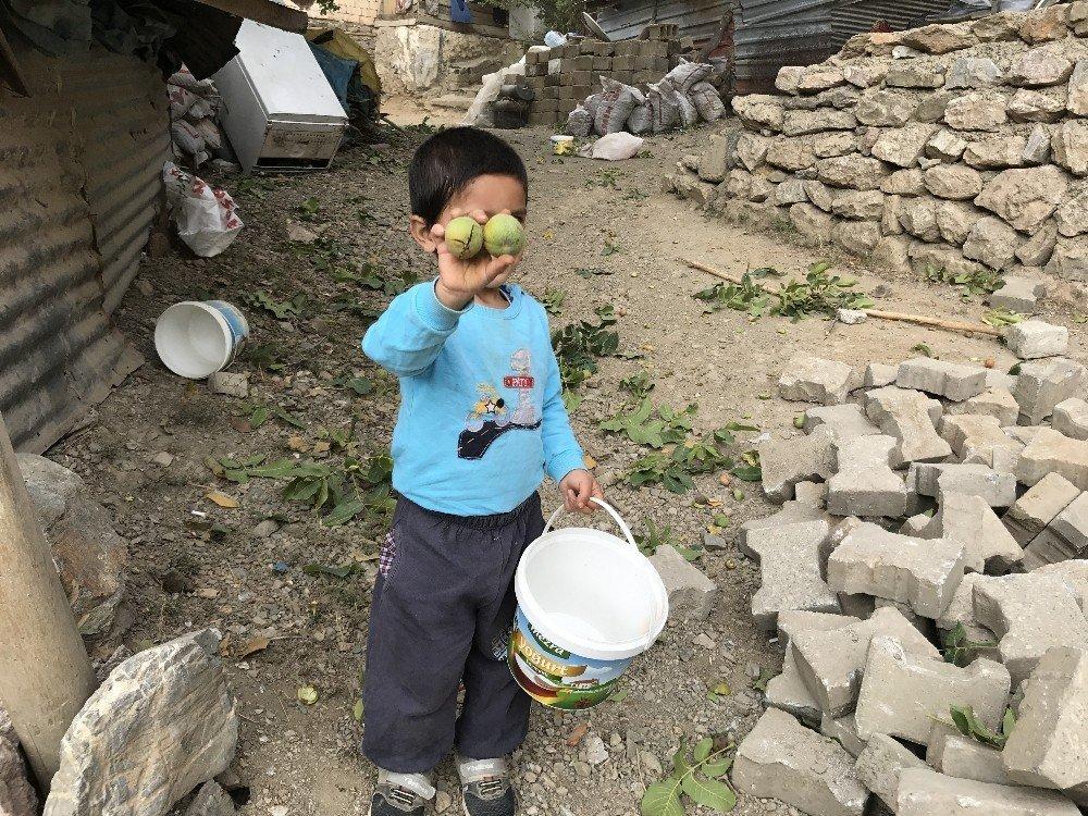 Şemdinli'de ceviz hasadı başladı