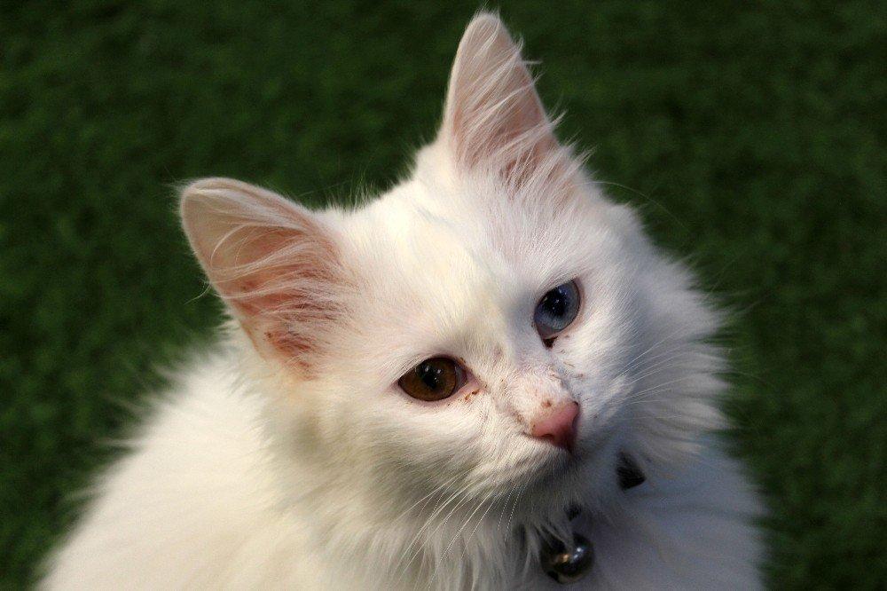 Van kedileri görücüye çıkıyor